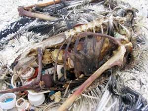 plastic inside an albatros
