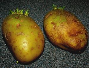 green-potatoes-food-waste