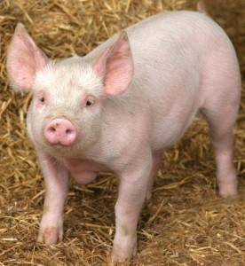 edible pigs anus