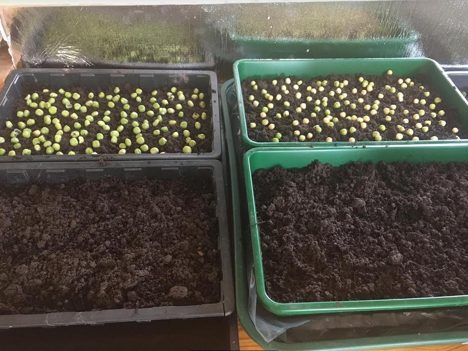 growing peashoots